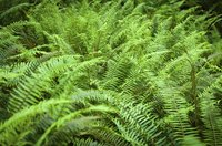 Sword ferns make an effective mass planting for woodland gardens.