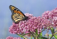 Monarch butterflies will only lay their eggs on milkweed plants.