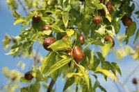 Jujube tree with fruit hanging from it