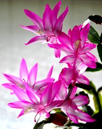 Christmas cactus flowers range from white to bright magenta.