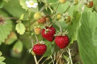 Wild strawberries growing on a bush.