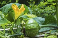 A young kabocha squash growing on a vine in a garden.