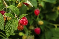 Raspberry plants for zone 9 produce red, yellow, black and purple fruits.
