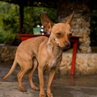 chihuahua and asthma signs symptoms of asthma in chihuahuas ehow 2992