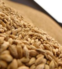 Most people rely on rice or wheat -- or both -- as staples in their diet, reports Kansas State University. While wheat makes up the basis for a range ...