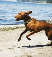 Dogs like the beach just as much as people, yet a vast majority of beaches prohibit dogs for safety, hygiene and other reasons. With several beaches ...