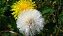 Dandelion Root Vs. Dandelion Leaf