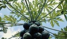 How to Dry Papaya Leaf for Tea