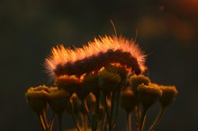 How to Treat a Caterpillar Sting