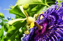 What Are the Benefits of Passion Flower for Menopausal Women?