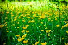 The Effects of Eating Buttercup Flowers