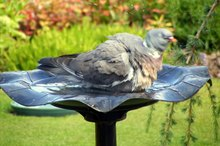 Diseases Caused by Drinking Water From the Bird Bath