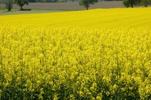 Is Rapeseed Oil Healthy?