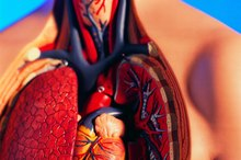 What Happens to the Circulatory System During Exercise?