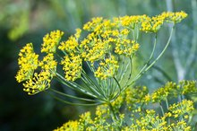 Benefits of Fennel Seed for Male Enhancement