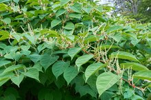 What Are the Benefits of Japanese Knotweed?