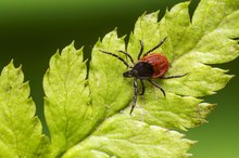 Spleen Symptoms of Lyme Disease