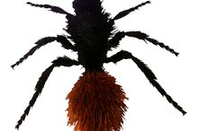 Are Velvet Ants Dangerous to Humans?