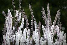 Black Cohosh & Fibroids
