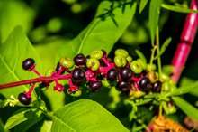 Phytolacca Berries for Weight Loss