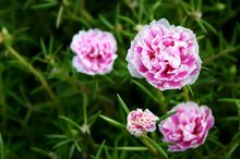 Medicinal Uses of Carnations