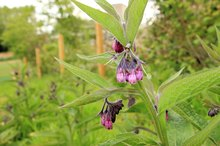 Comfrey Root Vs. Comfrey Leaves