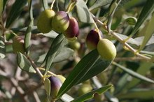 Olive Allergy Symptoms