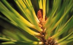 The Best Soil for Pine Trees in Containers