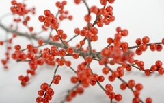 How to Grow Winterberry From Cuttings