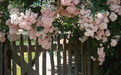 How to Grow Roses on a Fence