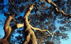 Can Cutting the Root of a Live Oak Kill the Tree?