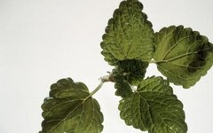 How to Prune Lemon Balm