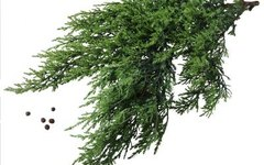 Are Japanese Junipers Dangerous for Dogs?