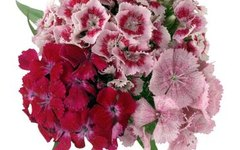 How to Landscape With Dianthus