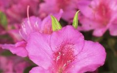 Some Characteristics of Azalea