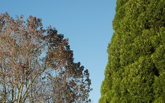 How to Prune Overgrown Cedar
