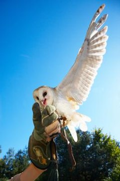 Owls have many features that set them apart from most birds.