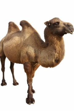Engage the preschoolers in activities about camels.