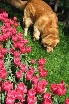 Tulips are among the many plants that are toxic to dogs.