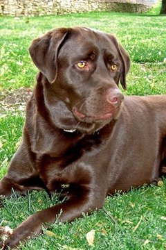 Several of the blindness-causing conditions associated with Labrador retrievers are genetic.