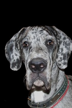 A Great Dane is easy to love, but sometimes a challenge to raise.