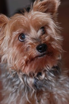 Yorkies have a fun, engaging personality and beautiful silky hair.