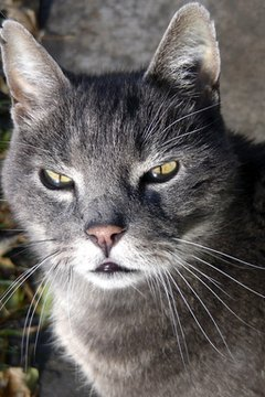 Tomcats often have nicks in their ears from fighting.
