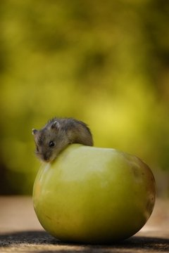Do Dwarf Hamsters Tolerate Cold? | Animals - mom me