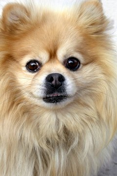 Pomeranian dogs enjoy close relationships and brisk walks with their human companions.