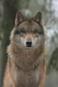 Wolves share many similarities with their domesticated relatives.