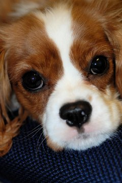 Spaniels specialize in love at first sight.