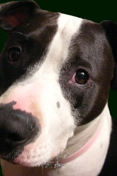 Though bred as fighting dogs, most pit bulls are very affectionate toward their humans.