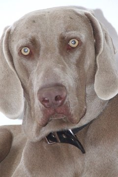 "The Weimaraner's defined coat color is the source of their ""grey ghost"" nickname."
