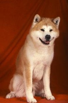 Shibas are close relatives of the Japanese Akita Inu breed.